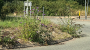Vegetation on roundabout obscuring drivers view.