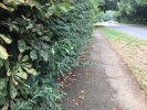 Overgrown hedge inboublic footpath